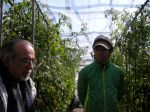 Enjoying Shizen no Chikara's beautiful tomato plants. 自然の力のビニールハウスはトマトで一杯でした。