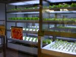 A room of hydroponically-grown lettuce near Pasona Inc.'s lobby. 葉もの野菜の会議室。