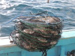 These scallops will be left underwater for a few months so that the scallops can mature before harvesting
